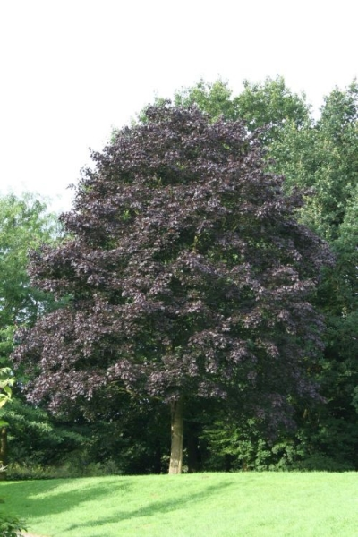 fagus sylvatica purpurea blutbuche zoom die. Black Bedroom Furniture Sets. Home Design Ideas