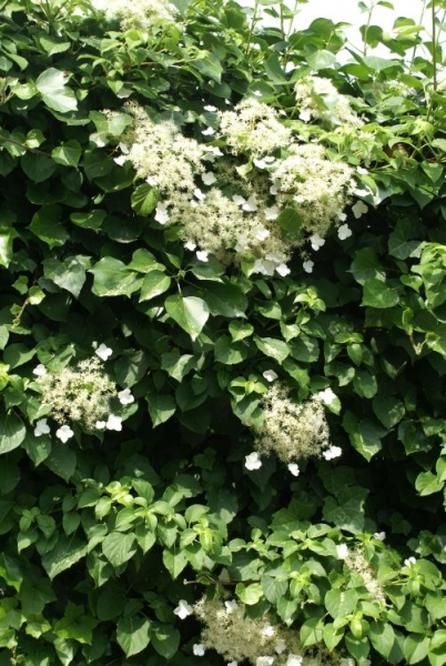 hydrangea petiolaris kletter hortensie habitus zoom. Black Bedroom Furniture Sets. Home Design Ideas