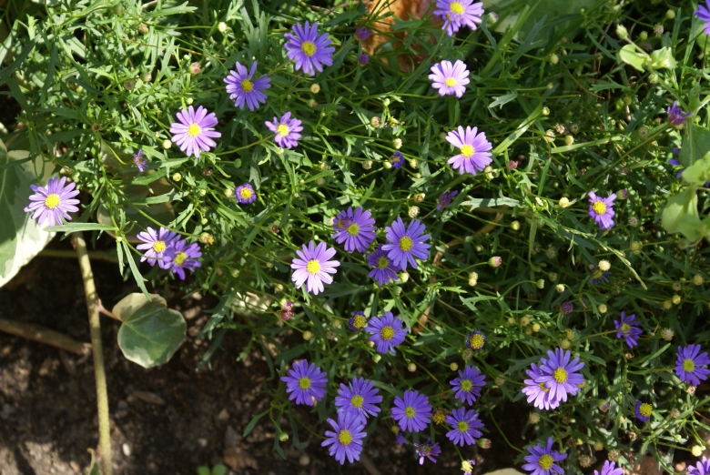 Blaues Gu00e4nseblu00fcmchen (Brachyscome iberidifolia) : Zoom die ...
