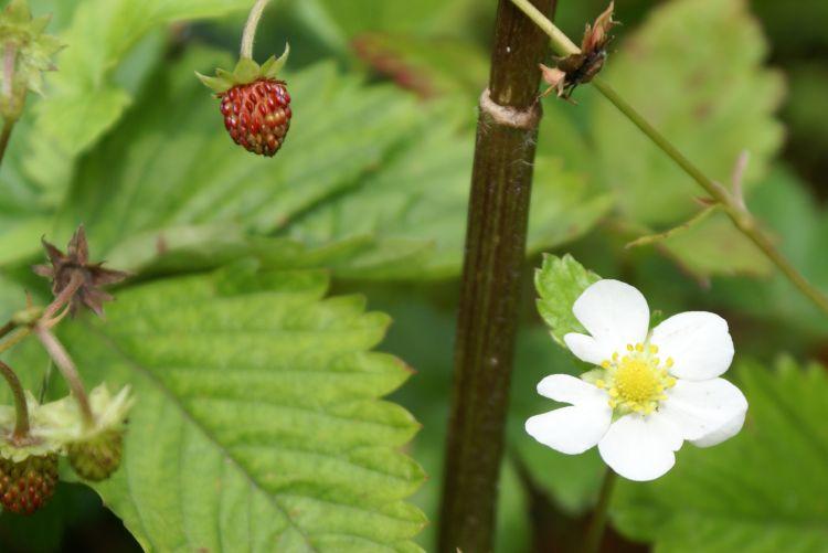 fragaria vesca walderdbeere bl252te und frucht zoom