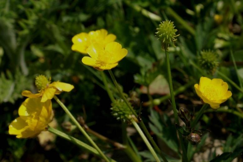 Prächtig die Honigmacher - Bienenweide - Pflanzensteckbrief - Kriechender &GD_98
