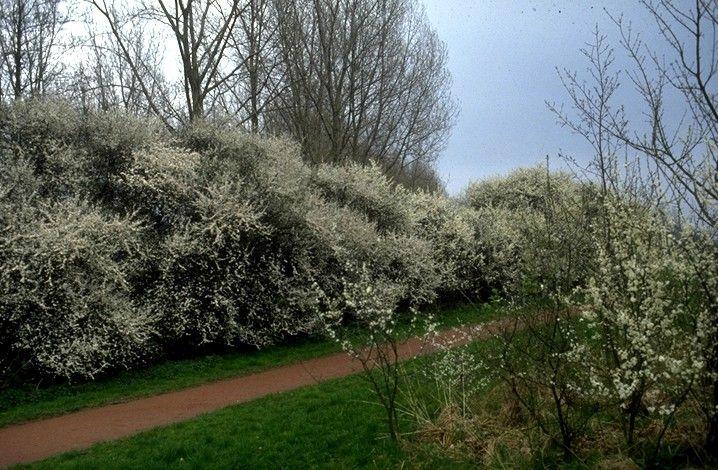 Prunus spinosa - Schlehenhecke   Zoom die Honigmacher ...