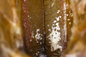 Kotflecken der Varroamilbe