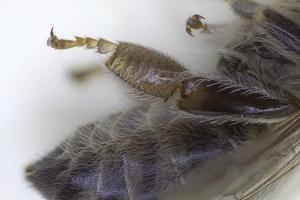Hinterbein der Honigbiene, Arbeiterin