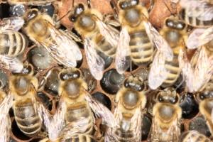 Brutnest - Aufzucht der Winterbienen
