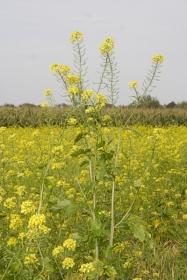 Gelbe Felder im Herbst
