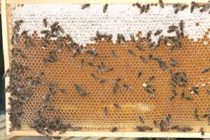 Honigwabe - unreifer und reifer Honig