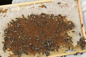 Honigvorräte im ehemaligen Brutnest