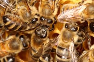 Kommunikation der Honigbienen
