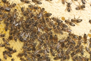 Honigmacherinnen bei der Arbeit