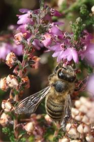Honigbiene auf Besenheide (Calluna vulgaris)