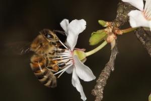 Trachtflug - Nektar sammeln an einer Kirschpflaume