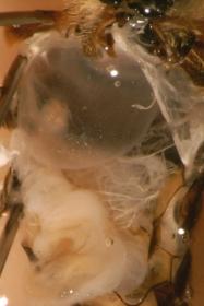 Honigblase der Honigbiene