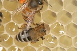 Sammlerinnen mit Tracht auf Honigwabe