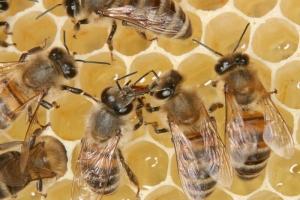 Trophallaxis auf einer Honigwabe