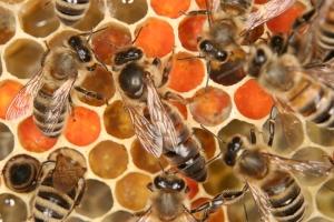 Bienenkönigin auf Brutwabe