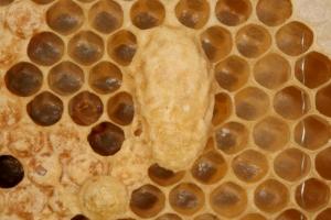 Nachschaffungszelle für eine Bienenkönigin