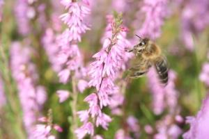 Heidekraut mit Honigbiene