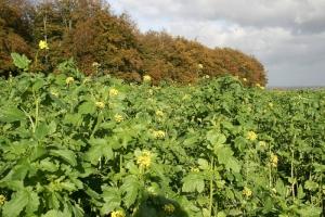 Wei�er Senf im Herbst