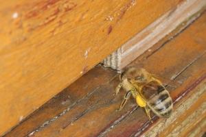 Sammelbiene mit Pollentracht