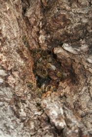 Bienenvolk in einem Straßenbaum