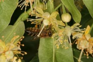 Lindenblüten - Sommerlinde