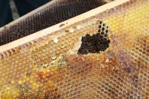 Fraßspuren auf einer Honigwabe