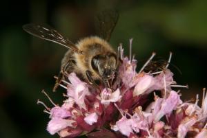 Honigbiene beim Nektarsammeln