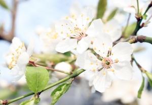 Schlehe (Prunus spinosa)