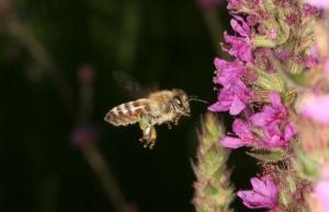 Honigbiene beim Anflug an Blutweiderich