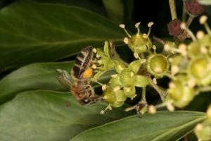 Honigbiene an Efeu-Blüte