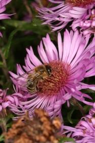 Honigbiene auf einer Raublatt-Aster