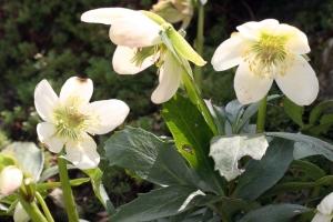Christrose (Helleborus niger) Zeigerpflanze des Vorfrühlings