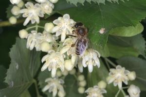Bl�ten der Silberlinde mit Honigbiene
