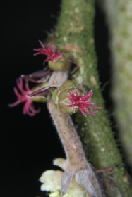 Haselnuss (Corylus avellana) - weibliche Blüten