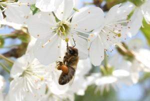 Kirschenblüten (Prunus avium)