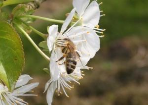 Kirschbl�te mit Honigbiene