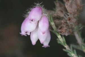 Glocken-Heide (Erica tetralix)