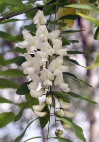 Robinie - eine Blütenrispe