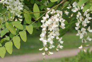 Blütenstand einer Robinie (Robinia pseudoacacia)
