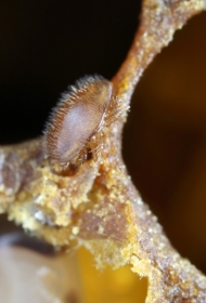 Weibchen der Varroamilbe (Varroa destructor))