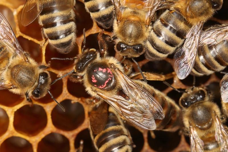Bienenkönigin umgeben von Ammenbienen
